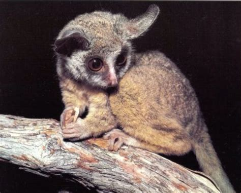 43 best bushbaby images on Pinterest Primates, Adorable