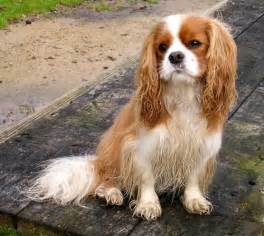 Cavalier King Charles Spaniel (CKCS) Dog Breeders Profiles Dog