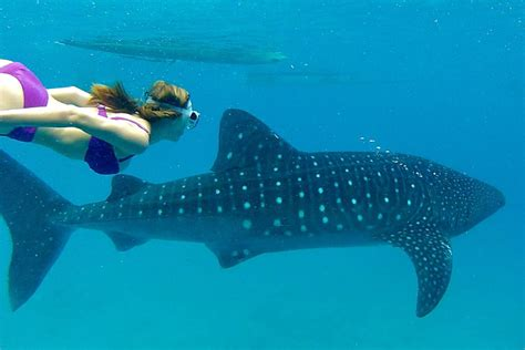 Scuba Diving with the Whale Sharks Tour in Cebu Activity