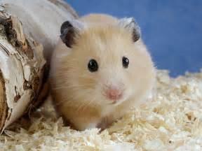Hamster The Biggest Animals Kingdom