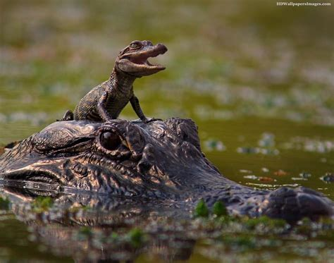 37 Alligator With Baby Alligator Images, Pictures, Photos