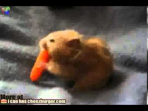 Hamster eats a whole carrot Funny Animal Videos, Funny