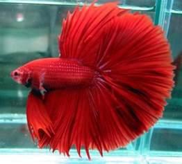 Betta Fish Care, Breeding,Feeding,Names,Diseases Etc