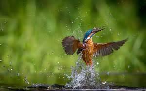 kingfisher wallpaper hd 2579 2717 hd wallpapersjpg