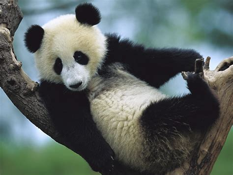 Amazing Giant Panda: Endangered Species, Giant Pandas