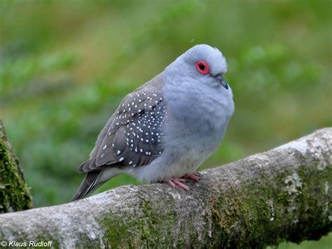 Image Geopelia cuneata (Diamond Dove) BioLibcz