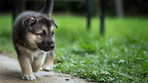 Beautiful puppy (dog) wallpapers HD Wallpapers Rocks