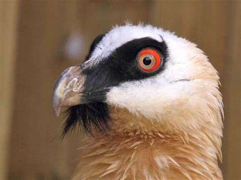 5 Characteristics of Bearded Vultures SA Country Life