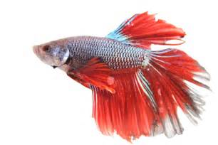 Thinking of Getting a Betta Fish? Pisces Pets