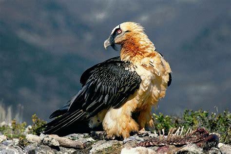National Bird Of Andora Bearded Vulture 123Countriescom