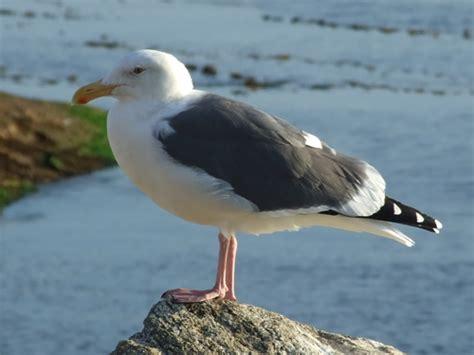 Photographs of seabirds: gulls, terns, pelicans