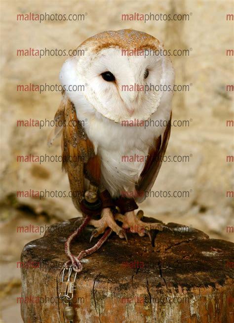 Animals Pets Birds Barbagan Malta Photos