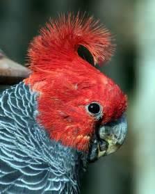 Gang gang Cockatoo Canberra Birds