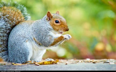 Do squirrels eat bird eggs