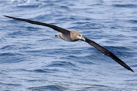 Types of Seabirds Pelagic Birds