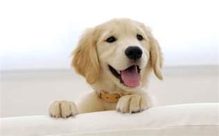 Cutest Golden Retriever Puppies In The World Golden retriever puppy