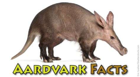 Aardvark Facts & Information For Kids From Active Wild