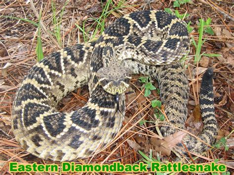 Diamondback Snake Information & Facts