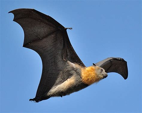Pretty, good fliers Grey Headed Flying Fox@Parramatta D