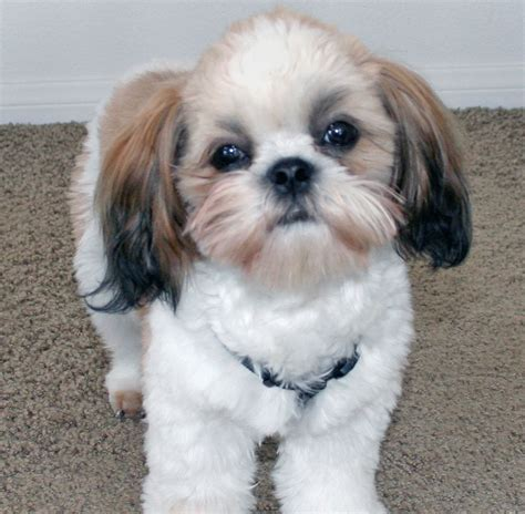 Shih Tzu Dog Breeders Profiles and Pictures Dog Breeders