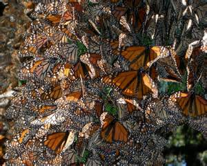 eScienceCommons: Mystery of monarch migration takes new turn