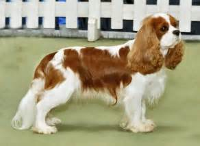 King Charles Spaniel Breed Guide Learn about the Cavalier King