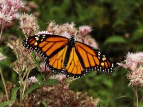 Monarch Butterflies, Monarch Butterfly Pictures, Monarch