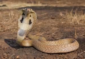 King Cobra Eyes King Cobras Are Renowned