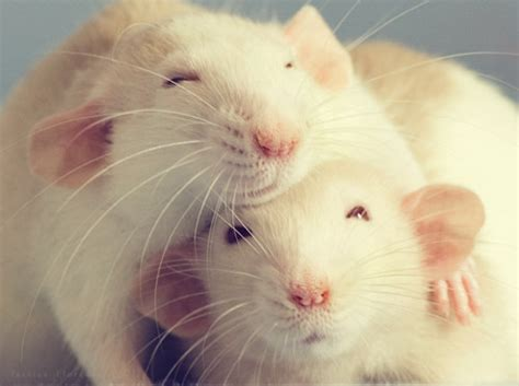 Study shows rats feel empathy Page 2