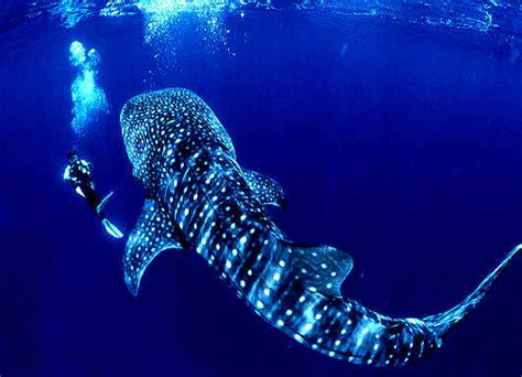 Donsol, Sorsogon: Close Encounter with the Whalesharks