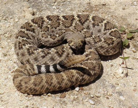 Western Diamondback Rattlesnake Facts and Pictures