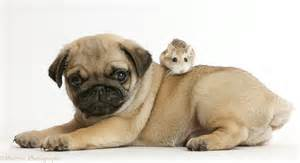 Pug puppy and Roborovski Hamster photo WP43435