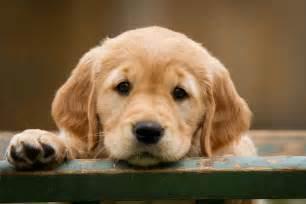 Golden Retriever Puppies Dr Odd