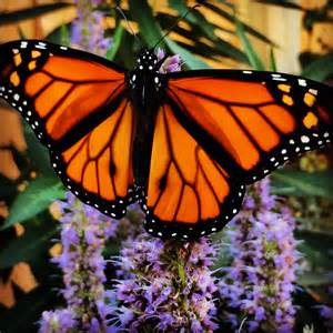 Six Ways to Save Monarchs : The National Wildlife