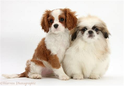 Dogs: King Charles pup with Pekingese pup photo WP38491