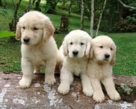 Golden Retriever Puppies Images & Pictures Becuo
