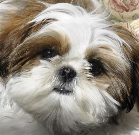 Cute Dogs: Shih Tzu