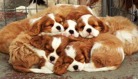 Cavalier King Charles Spaniel Puppies Gillcrest Cavaliers