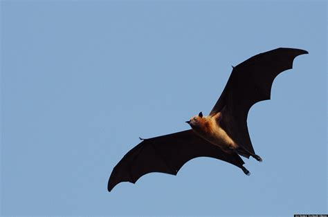 Bat Health Critical To Human Health HuffPost