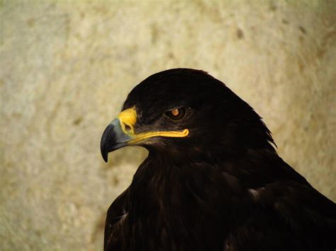 Black Eagle Wallpapers Backgrounds