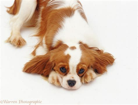 Dog: Cavalier King Charles puppy photo WP07496