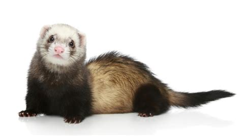 NYC Ban on Keeping Ferrets as Pets Stays, Health Board