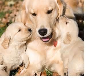 golden retriever puppies A Cute A Day