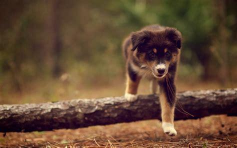 50 Cute Dogs Wallpapers Dog Puppy Desktop Wallpapers