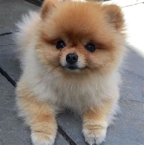 25 best ideas about Teacup Pomeranian Puppy on Pinterest