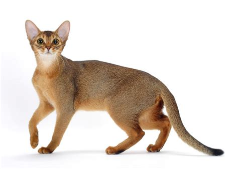 8 Cat Breeds That Resemble Tigers, Leopards and Other Wild