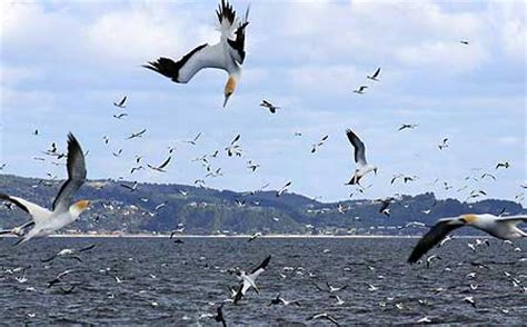 Gannet study reveals perils of high speed diving Massey