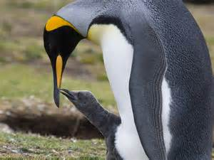 King Penguin Penguin Facts and Information
