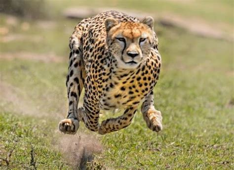 Most 50 Cheetah animals photos hd wallpapers free download