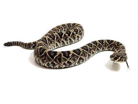 Eastern Diamondback Rattlesnake (Crotalus adamanteus